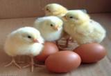 لعبة انتاج البيض